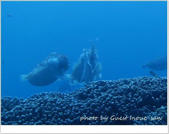 コブシメの威嚇 photo by CANON PowerShot S100