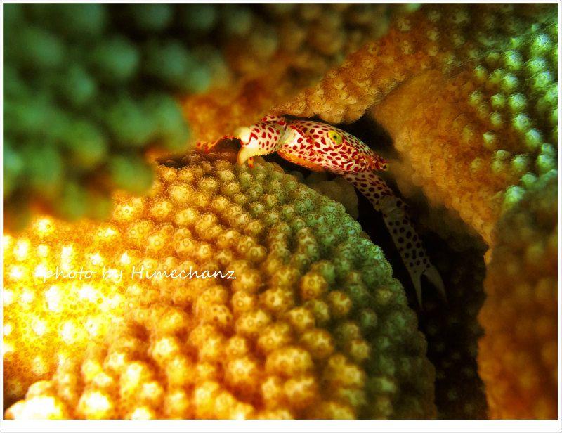 サンゴガニの抱卵 photo by CANON PowerShot S100