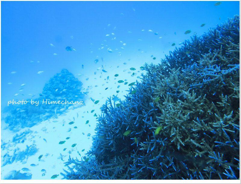 浜島東のサンゴに群れるデバスズメダイ photo by CANON PowerShot S100