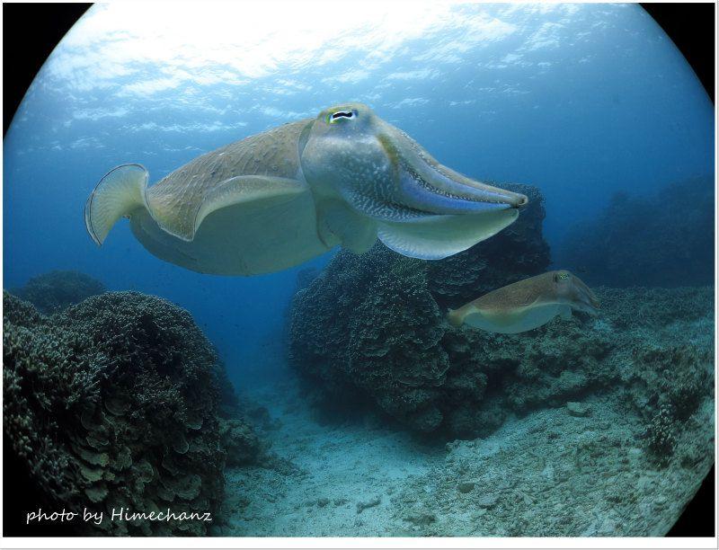 メスを見守るオスのコブシメ photo by CANON PowerShot S100