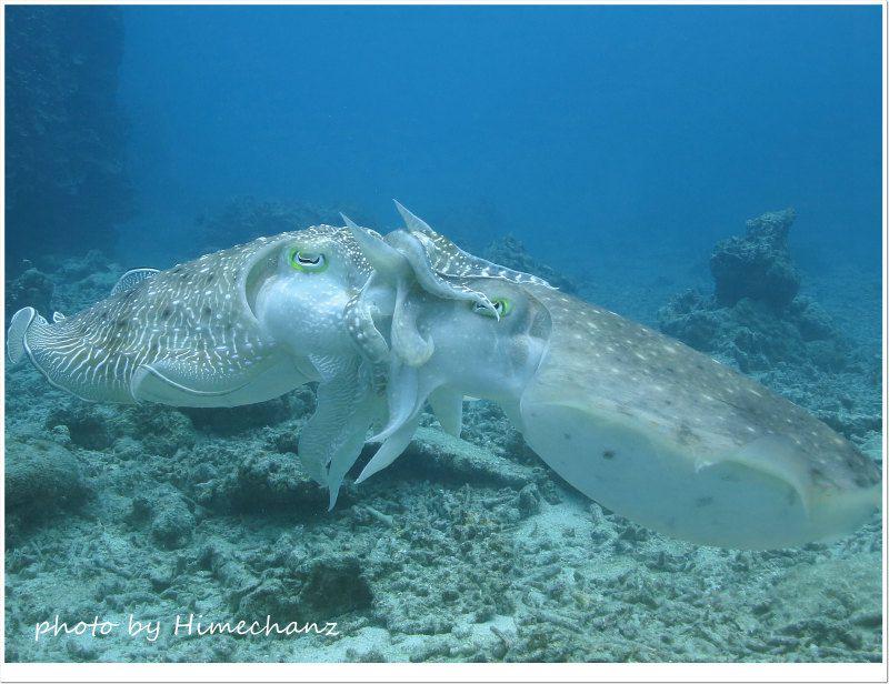 コブシメの交接 photo by CANON PowerShot S100