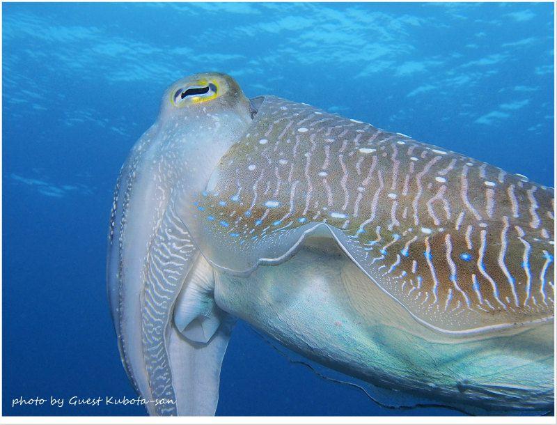 コブシメのオス photo by OLYMPUS PEN Lite E-PL5