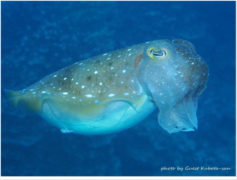 コブシメのメス photo by OLYMPUS PEN Lite E-PL5