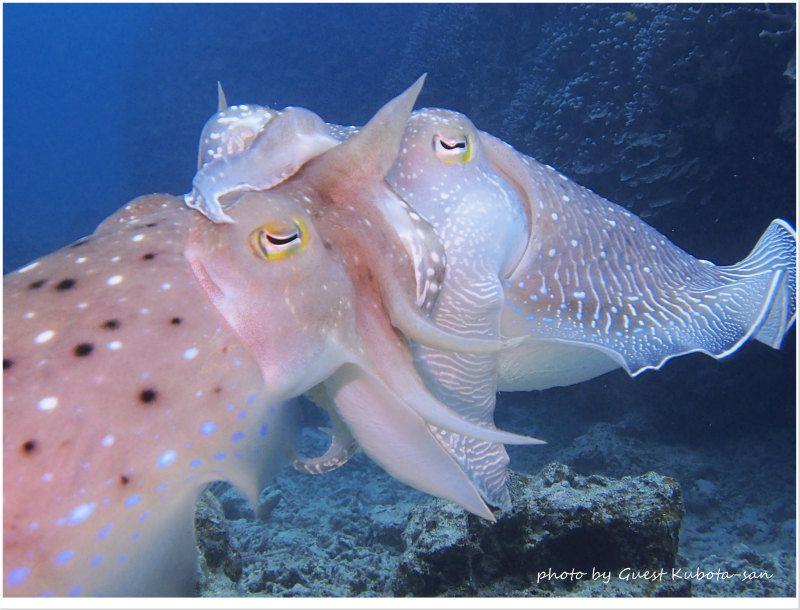 コブシメ交接のどアップ photo by OLYMPUS PEN Lite E-PL5