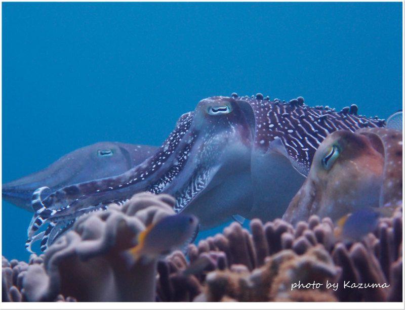 二股疑惑のコブシメ photo by OLYMPUS XZ-1