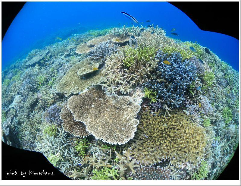 石西礁湖のサンゴ