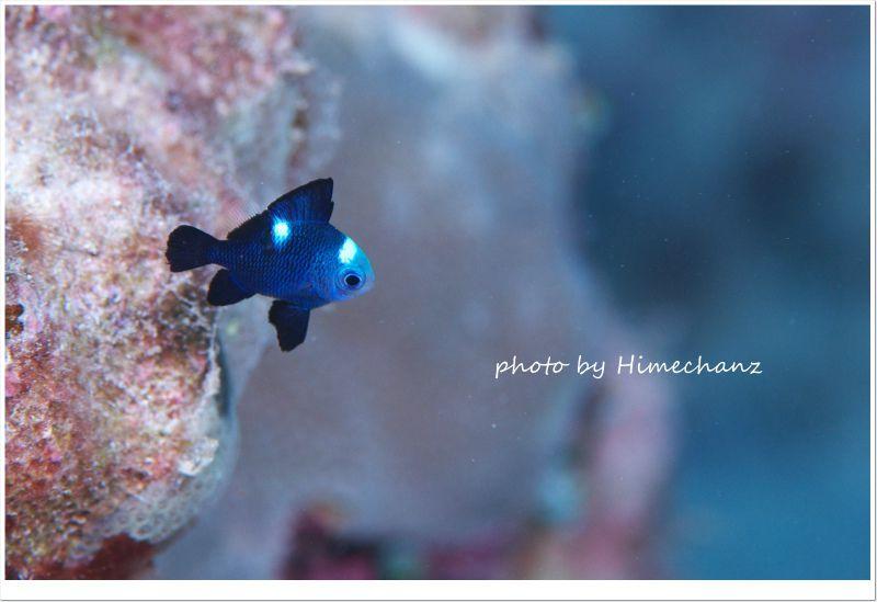 ミツボシクロスズメダイの幼魚 photo by Nikon D300