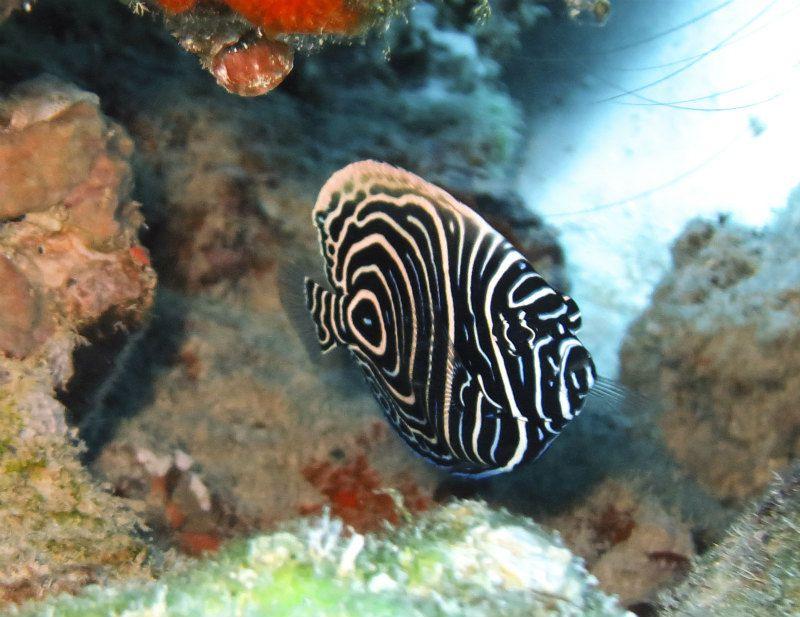 タテジマキンチャクダイの幼魚 photo by CANON PowerShot S100
