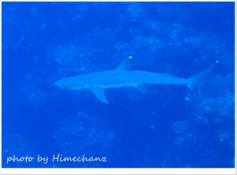 ホワイトチップシャーク photo by CANON PowerShot S100