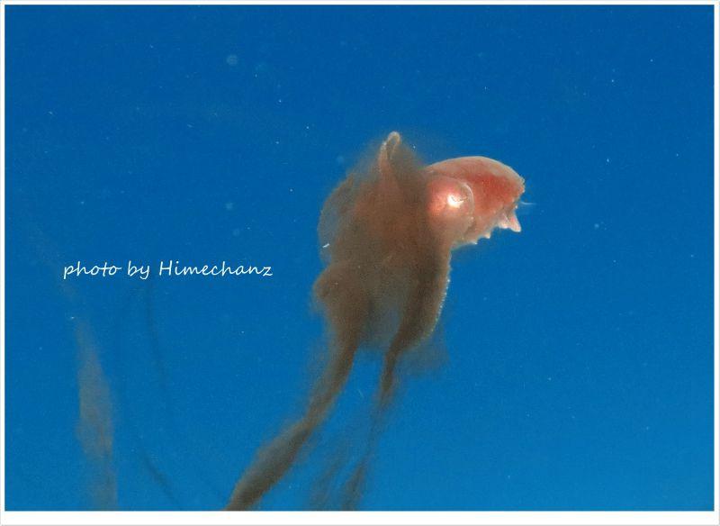 コブシメ赤ちゃんのスミ吐き photo by CANON PowerShot S100