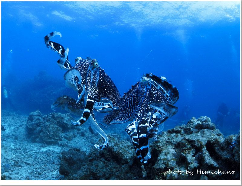 コブシメのオス同士の喧嘩 photo by CANON PowerShot S100