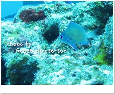 アマミスズメダイの幼魚 photo by CANON PowerShot S100