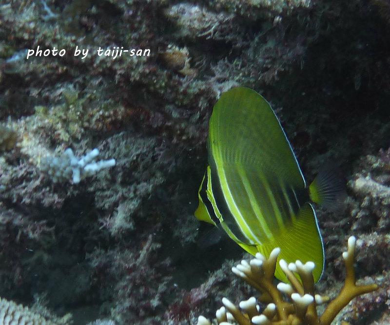 ヒレナガハギの幼魚 photo by Panasonic DMC-FT1