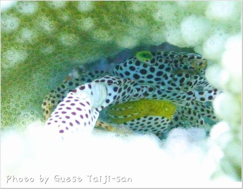 抱卵中のオオアカホシサンゴガニ photo by Panasonic DMC-FT1