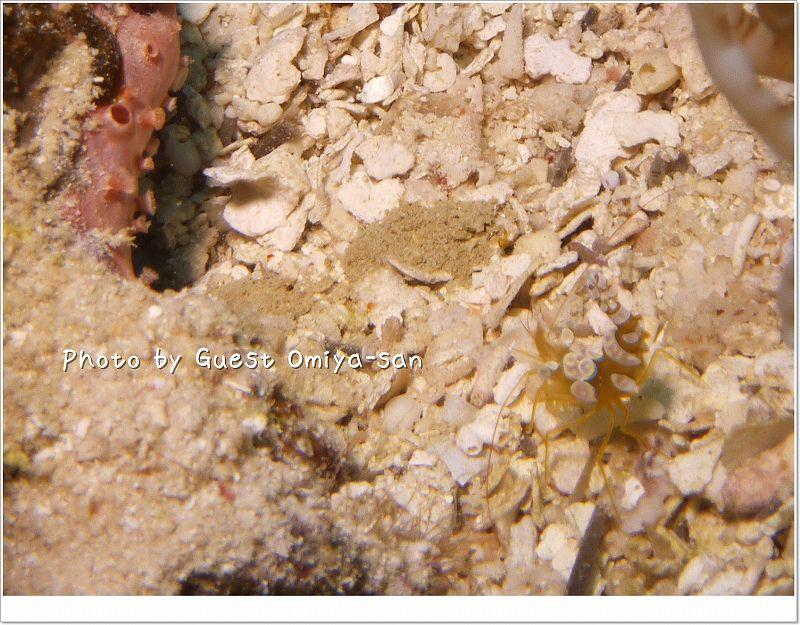 砂と同じ大きさのイソギンチャクモエビ photo by Panasonic DMC-TZ7