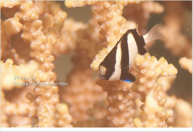 ブルーがかわいいミスジリュウキュウスズメダイ幼魚 photo by NIKON D700