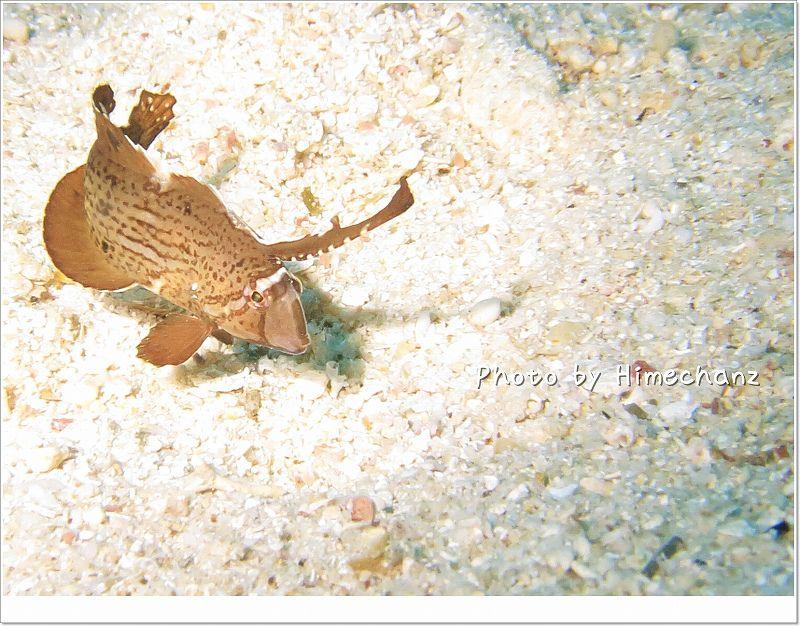 枯葉に化け中。ホシテンス幼魚。 photo by CANON PowerShot S100