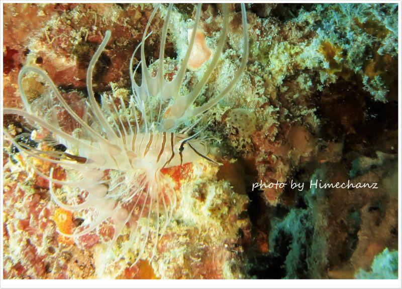 ハナミノカサゴの幼魚 photo by CANON PowerShot S100