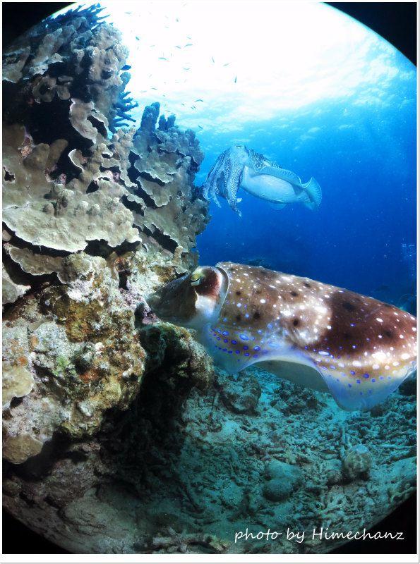 コブシメの産卵 photo by CANON PowerShot S100