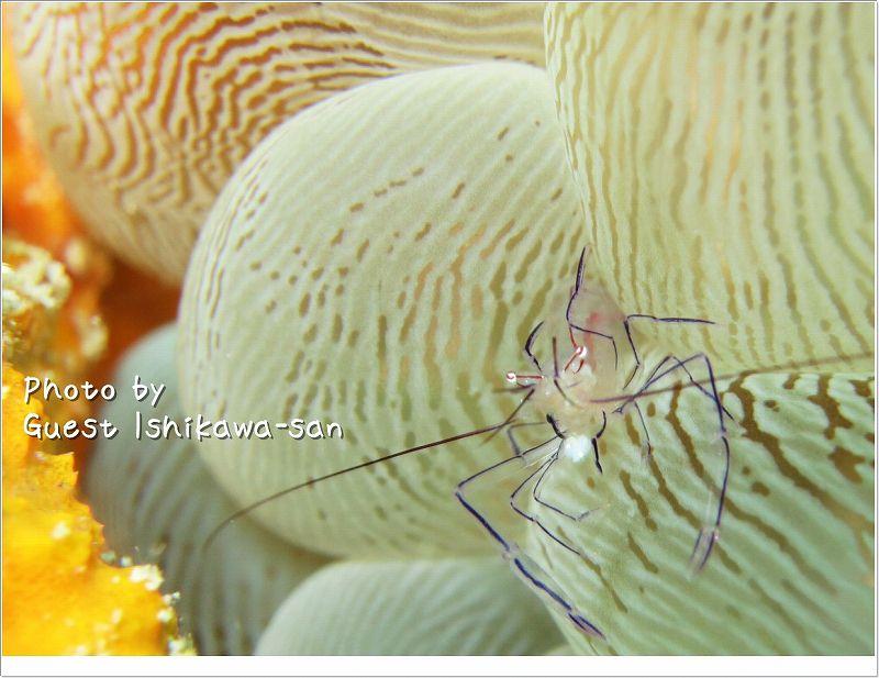 実は肉厚バブルコーラルシュリンプ photo by CANON PowerShot S100