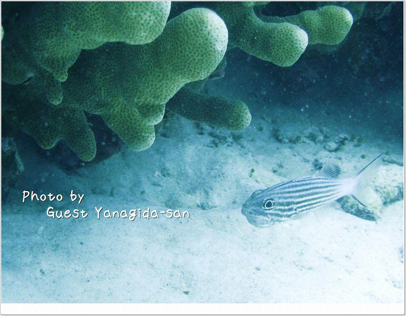 構内保育中リュウキュウヤライイシモチ photo by Sea&Sea DX-1G
