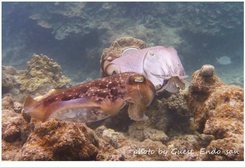 コブシメ オスがメスに誘うも断られるの巻w photo by Panasonic Lumix FT2