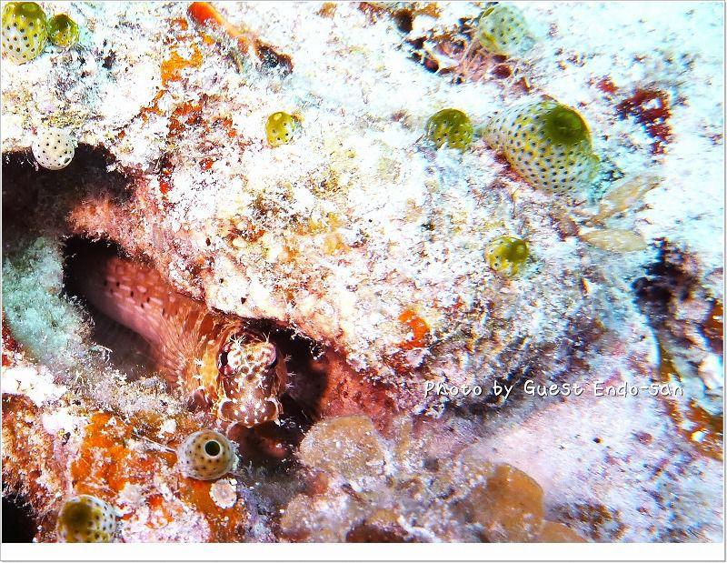 びくびく隠れ中。エリグロギンポ。 photo by Panasonic Lumix FT2