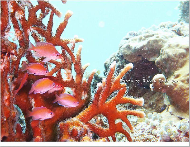 美しいケラマハナダイ photo by Panasonic Lumix FT2