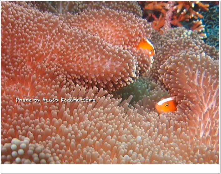 サンゴに囲まれたイソギンチャクの中にセジロクマノミ photo by OLYMPUS OLYMPUS PEN Lite E-PL2