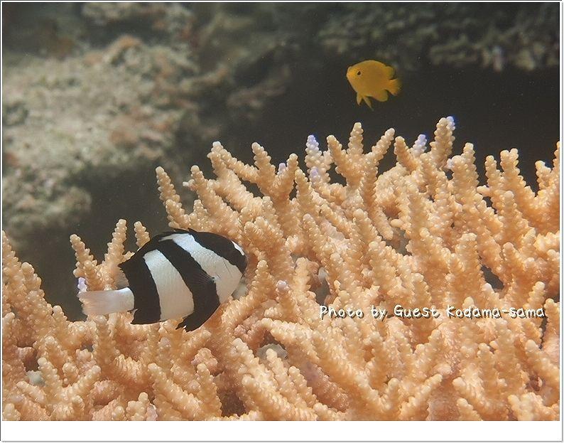 かわいいミスジリュウキュウスズメダイ photo by OLYMPUS OLYMPUS PEN Lite E-PL2