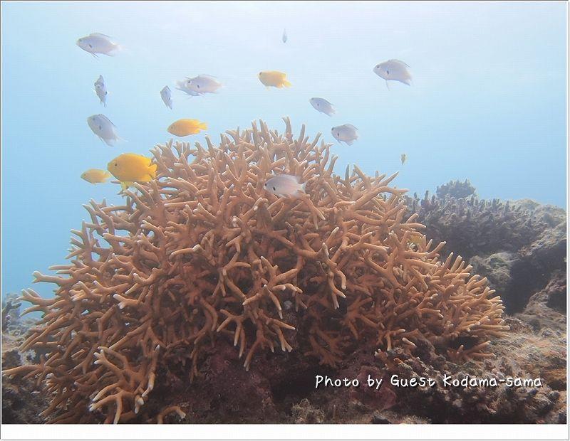 サンゴに群がるスズメダイ達 photo by OLYMPUS OLYMPUS PEN Lite E-PL2