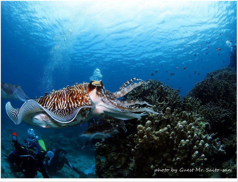 クリーニングフィッシュにつつかれて痛がるコブシメ photo by OLYMPUS OM-D E-M5