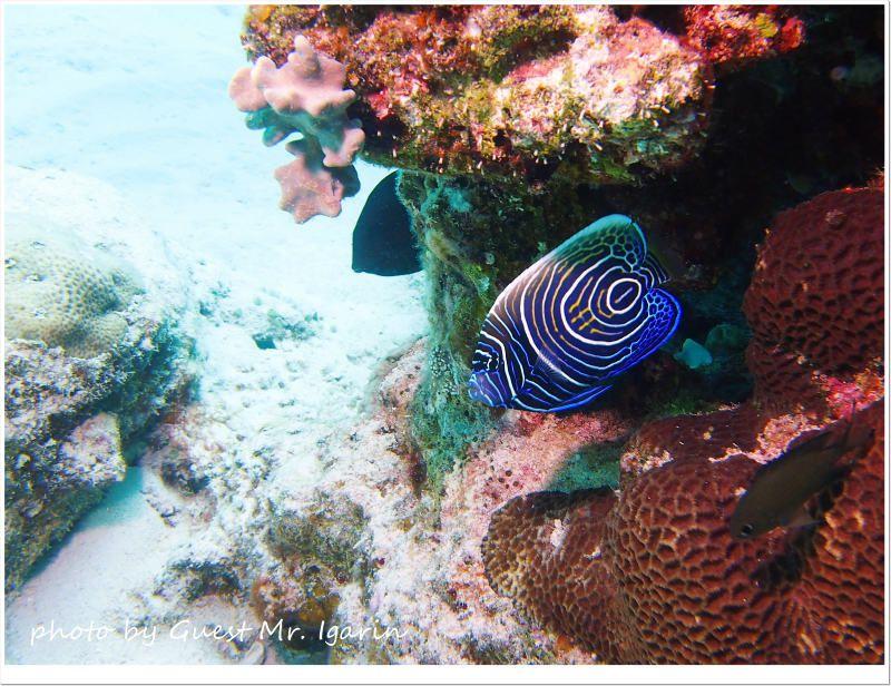 タテジマキンチャクダイの幼魚 photo by OLYMPUS PEN Lite E-PL3