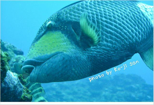 危険な魚代表!ゴマモンガラ Photo by NIKON 1 J3