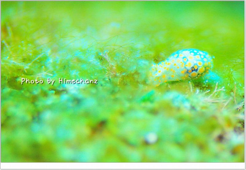 ブドウガイ科の1種1 photo by Nikon D300
