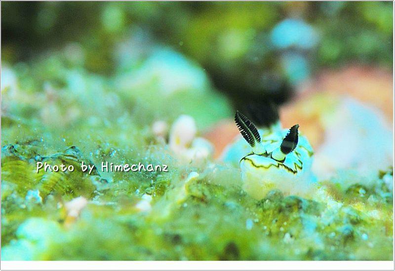 キイロウミウシ photo by Nikon D300