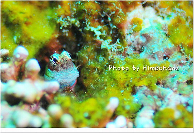 きょとんとした目がかわいいツマリギンポ photo by Nikon D300