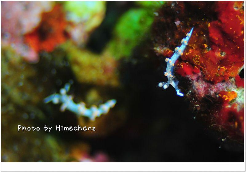 2匹いました!サキシマミノウミウシ photo by Nikon D300