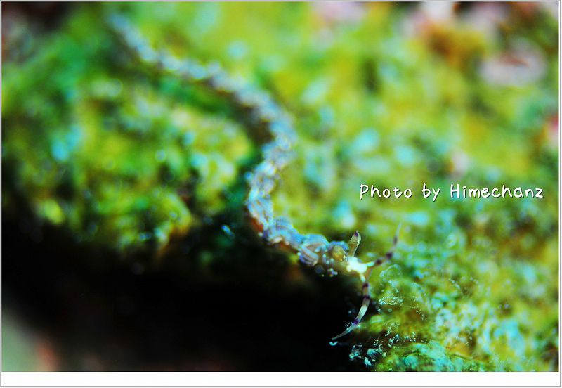なが~い ムカdセミノウミウシ photo by Nikon D300