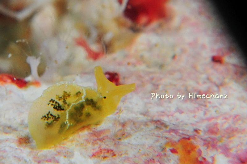 謎の小さきウミウシ3(オトメミドリガイらしい) photo by Nikon D300