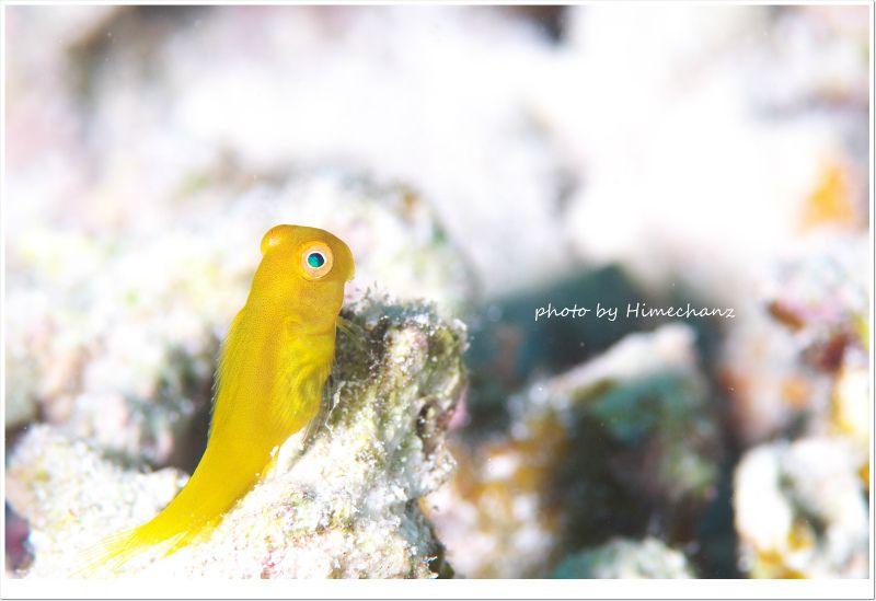 インドカエルウオ幼魚 photo by Nikon D300