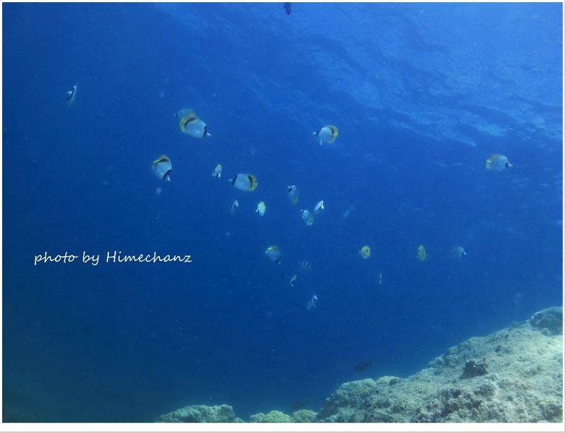 雑食のチョウチョウウオがサンゴの卵やプランクトンを狙って群れてました! photo by CANON PowerShot S100