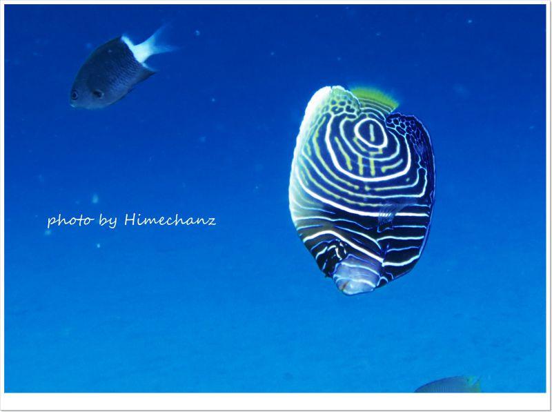 タテジマキンチャクダイの幼魚が大人の階段登ってます! photo by CANON PowerShot S100
