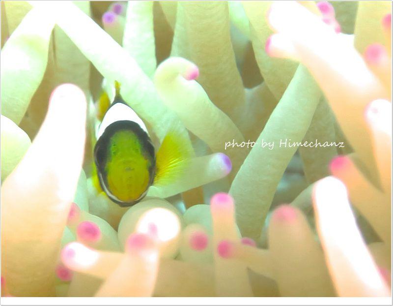 めっちゃちっちゃいクマノミ幼魚の挨拶w photo by CANON PowerShot S100