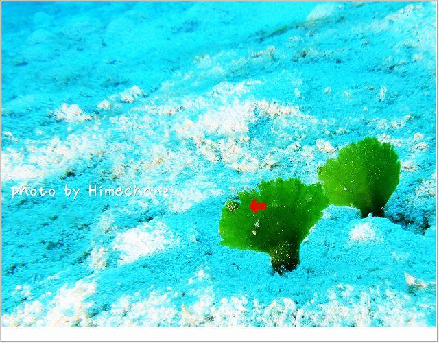 極小すぎなクサイロモウミウシ photo by CANON PowerShot S100