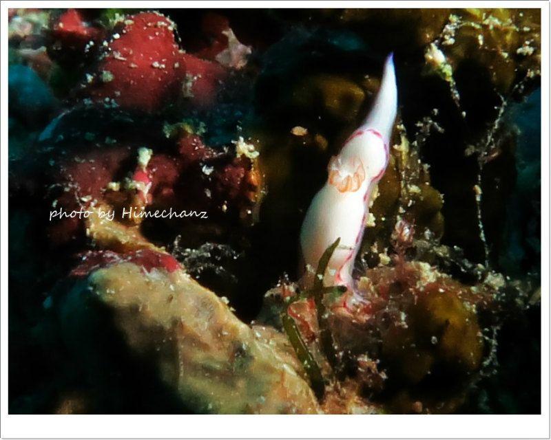 頭隠して尻かくさずのゾウゲイロウミウシ photo by CANON PowerShot S100