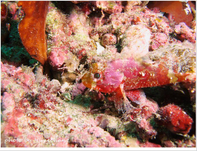 サンゴカサゴ幼魚 photo by CANON PowerShot S100