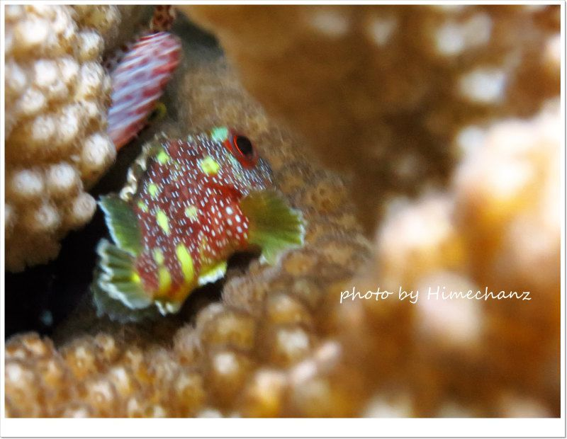 カスリフサカサゴ幼魚 photo by CANON PowerShot S100