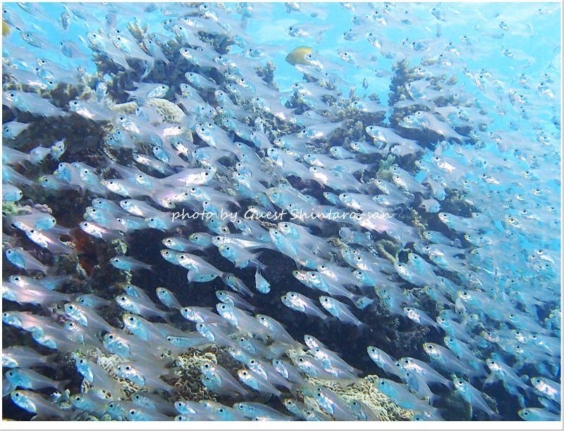 スカシテンジクダイの群れ photo by Olympus Pen E-PL3