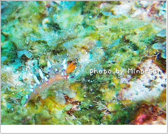 とっても綺麗なアデヤカミノウミウシ photo by OLYMPUS E-PL3